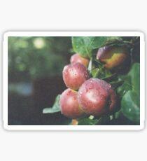 Water Drops on Apples Sticker
