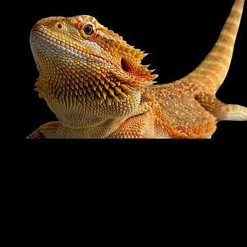 Bearded dragon by crasher59