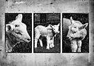 Lamb Triptych  by Martina Fagan