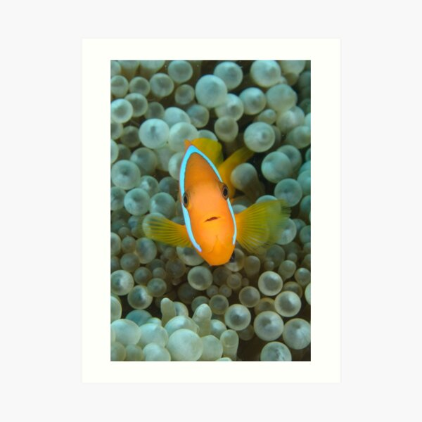 Black Anemonefish - Amphiprion melanopus Art Print