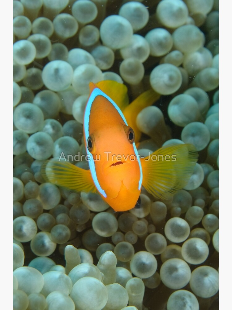 Black Anemonefish - Amphiprion melanopus by andrewtj