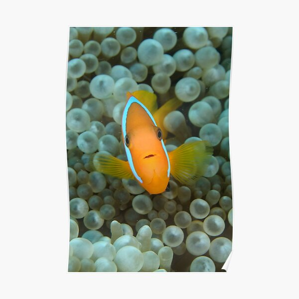 Black Anemonefish - Amphiprion melanopus Poster