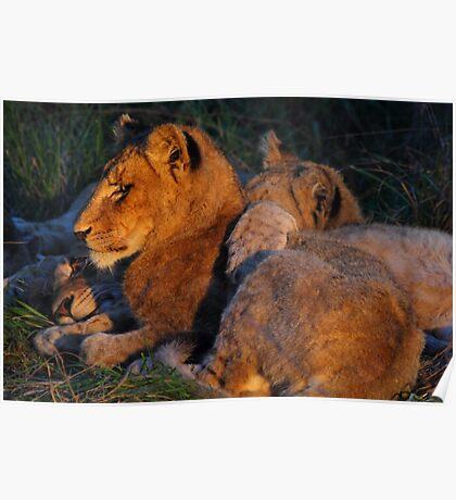 Lion love Poster