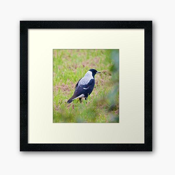 Australian Magpie Framed Art Print
