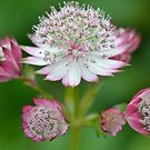 Pink and White Astrantia by pyettphoto