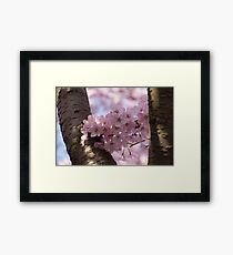Silver Bark and Pink Blossoms Framed Print