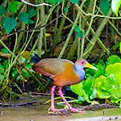 Grey-Necked Wood Rail by mcstory