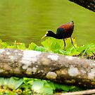 Northern Jacana by mcstory