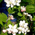 Apple Blossoms by Shulie1