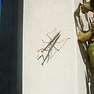 Praying Mantis On The Garden Wall by robertemerald