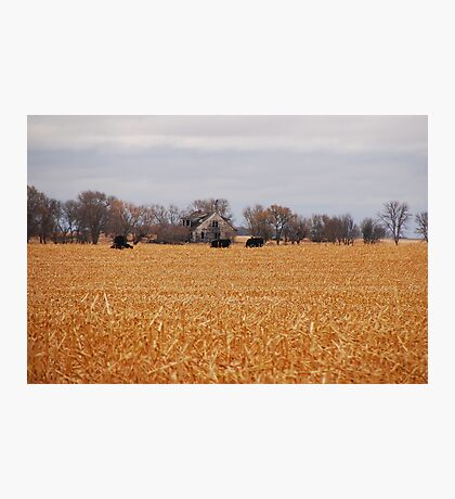 Cows In The Corn Photographic Print