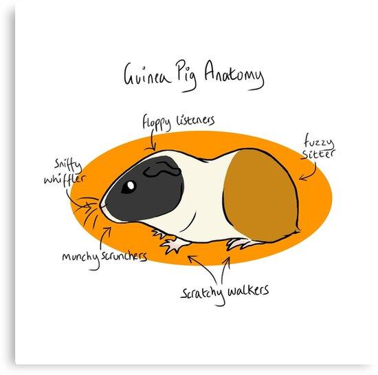 Meerschweinchen-Anatomie\