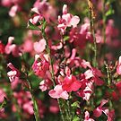 Small And Pink Flowers Sylvia Sage by Joy Watson