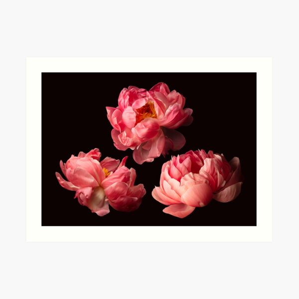 Three Pink Peonies Art Print