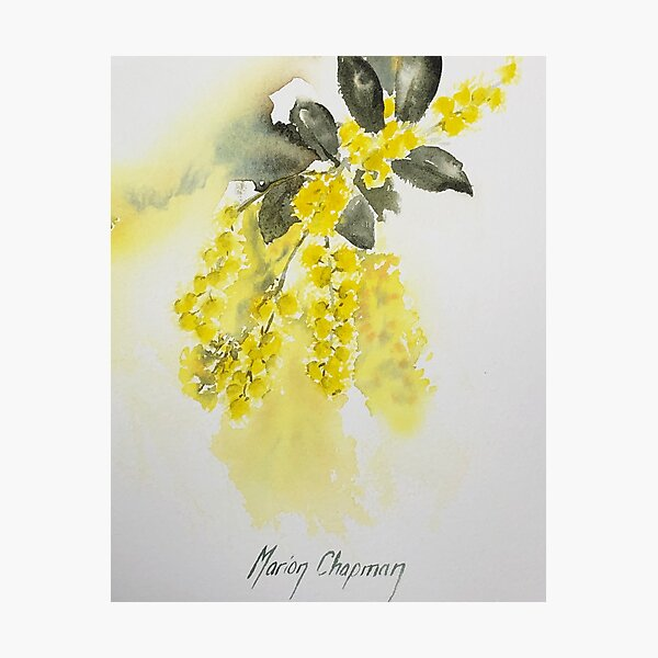 Australian golden wattle watercolour Photographic Print