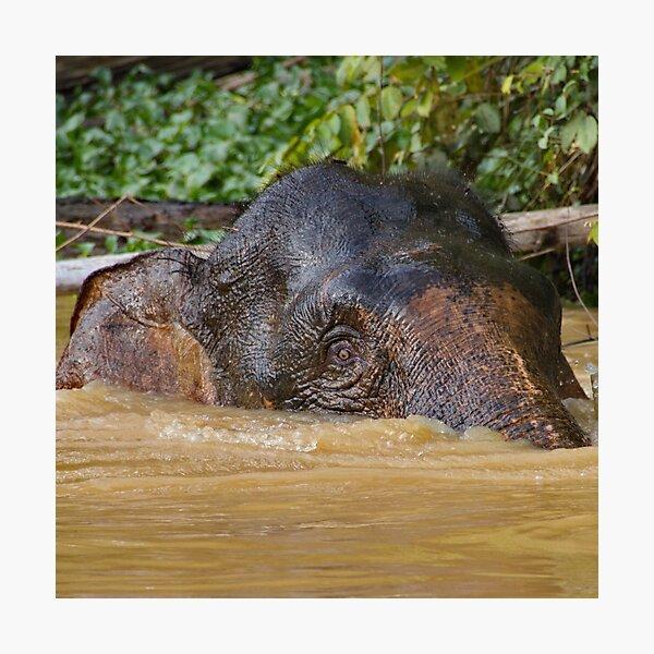 Borneo Pygmy Elephant Photographic Print
