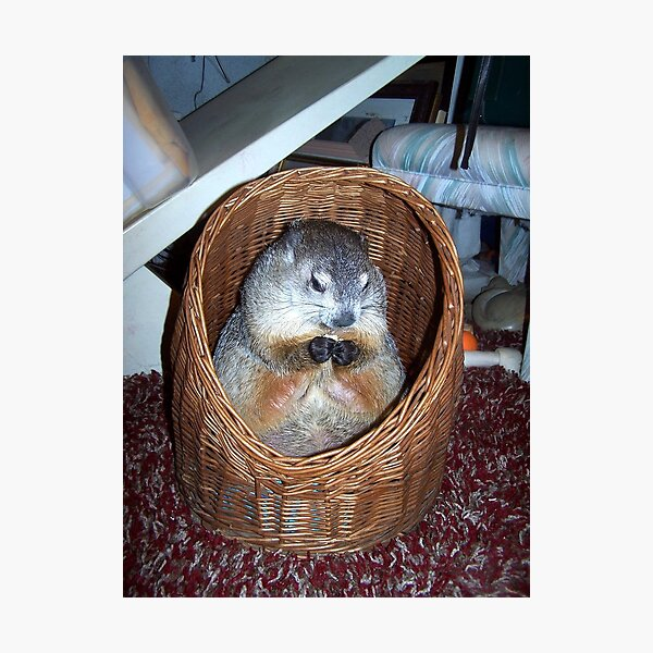 Groundhog Clara In Her Wicker Hideaway Photographic Print