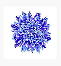 Beautiful unique deep blue chrysanthemum Photographic Print