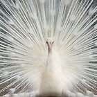 Albino Peacock by Bonnie T.  Barry