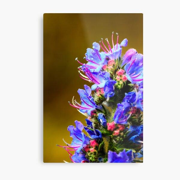 Blue Wildflower- Viper's Bugloss Metal Print