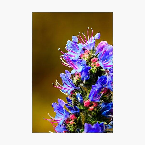 Blue Wildflower- Viper's Bugloss Photographic Print