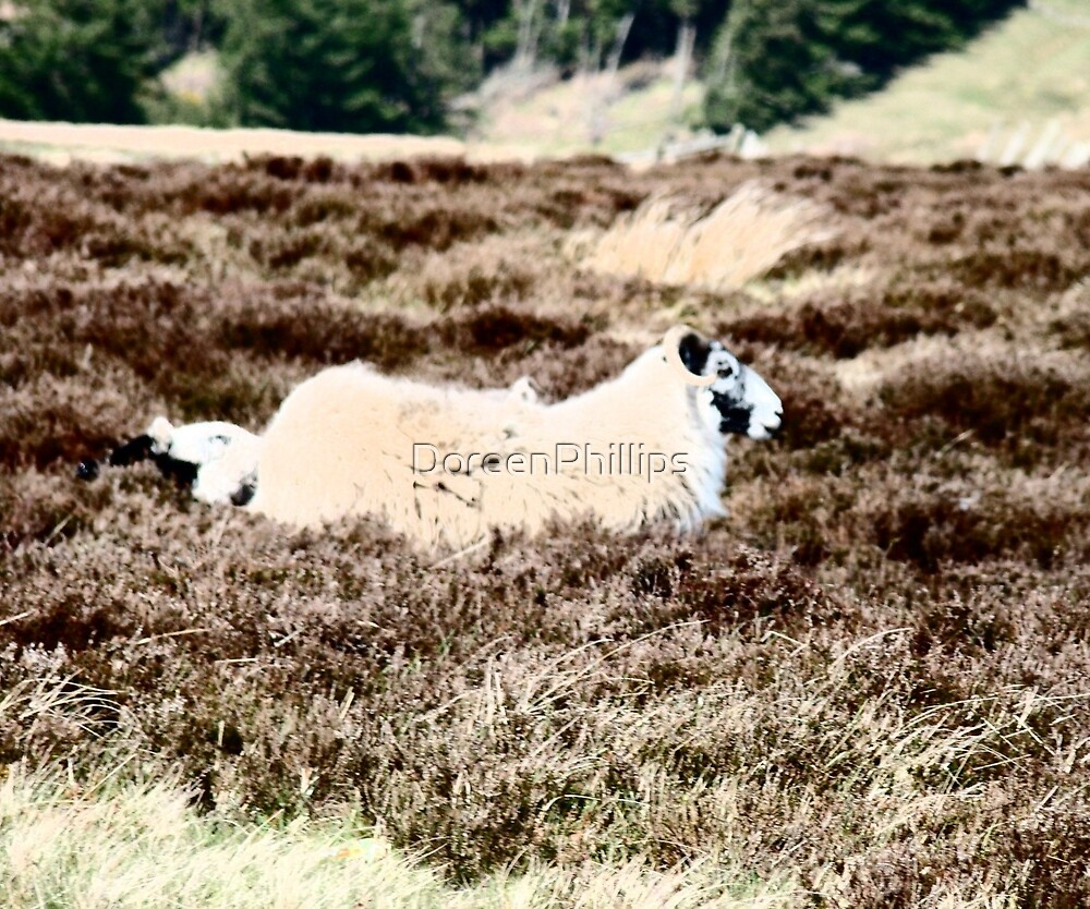 Moorland Sheep... by DoreenPhillips