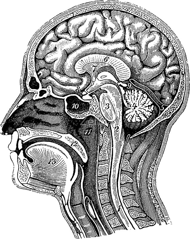 """""""Anatomical Brain Drawing"""" Stickers by Zehda 