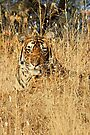Sub-Adult Male Bengal Tiger by Carole-Anne