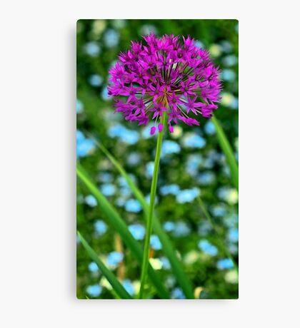 --Lavender Allium Canvas Print