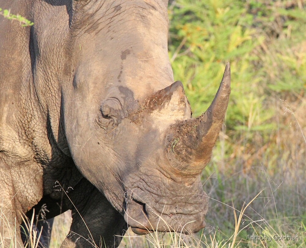 A rhino horn-how safe is it ? by jozi1