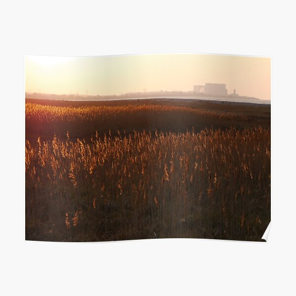 Grasses in the sunset  Poster