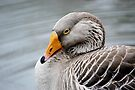 Greylag Goose by Laurie Minor