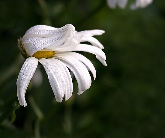 Rain On the Daisy by Kathy Weaver