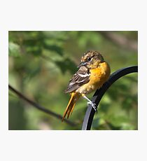 Young Oriole Photographic Print
