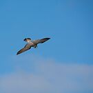 Peregrine falcon in flight by M S Photography/Art