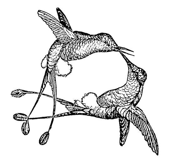 Vintage Hummingbird Bird Illustration Retro 1800s Black And White