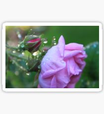 Morning Dew on Rosebud Sticker
