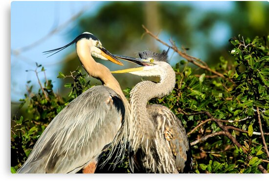 Great Blue Herons Adult and Young by bengraham