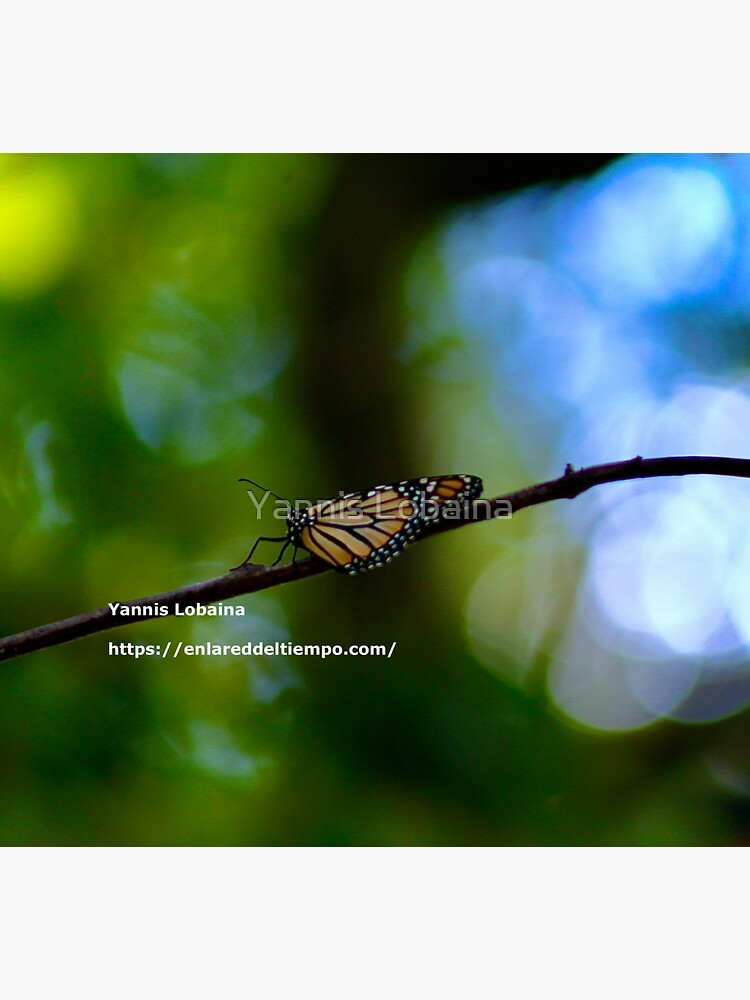 Copy of Monarch butterfly before flying in search of sun By Yannis Lobaina by lobaina1979