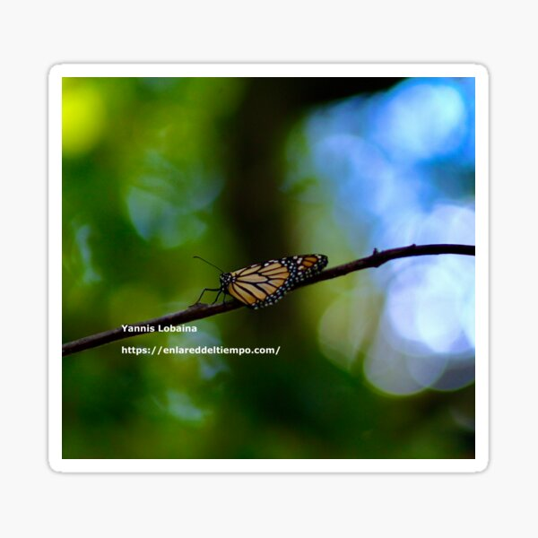 Copy of Monarch butterfly before flying in search of sun By Yannis Lobaina Sticker