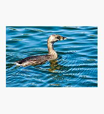 Pied Billed Grebe Photographic Print