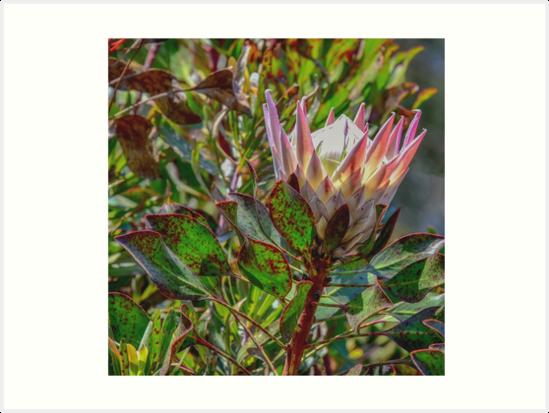 Protea by Josette Halls