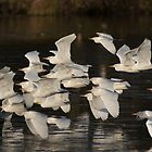 To Roost They Go by byronbackyard