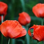 Where Poppies Grow by Debbie Oppermann