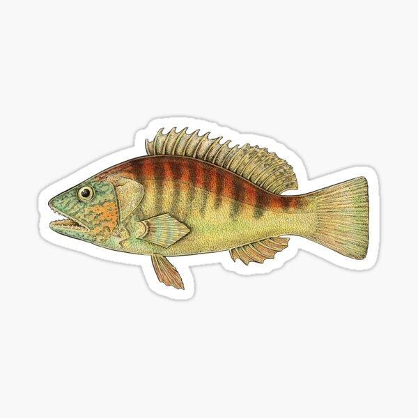 Banded Sea Perch Sticker