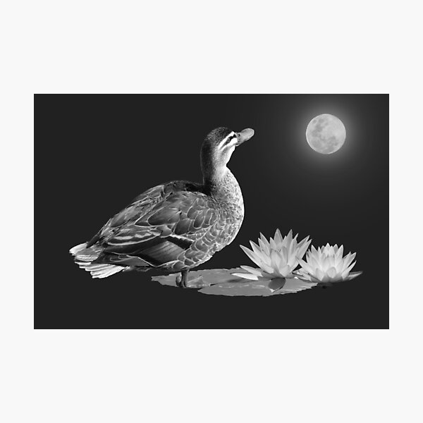DUCK BY MOONLIGHT Photographic Print