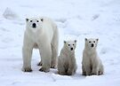 Family Portrait #1 - Polar Bears, Churchill, Canada by Carole-Anne