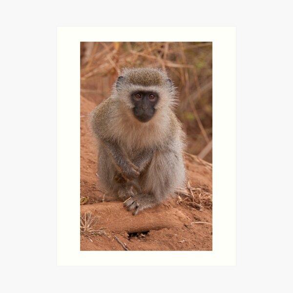 Vervet Monkey at Pafuri, Kruger National Park, South Africa Art Print