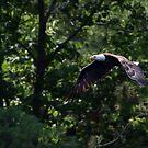 Bald Eagle by Jim Cumming