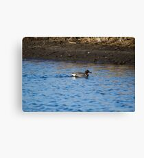 Green-Winged Teal Drake Canvas Print